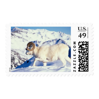 dall sheep, Ovis dalli, full curl ram on a Stamp