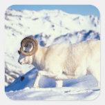 dall sheep, Ovis dalli, full curl ram on a Sticker