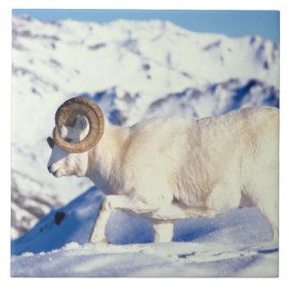 dall sheep, Ovis dalli, full curl ram on a Tile