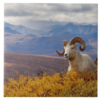 dall sheep, Ovis dalli, ram resting on a Ceramic Tile