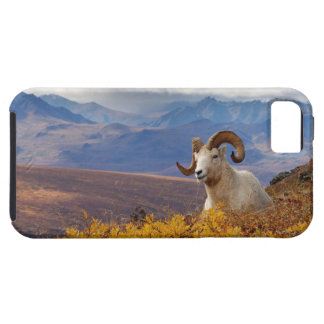 dall sheep, Ovis dalli, ram resting on a iPhone SE/5/5s Case