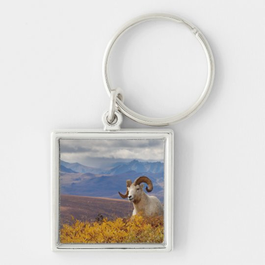 dall sheep, Ovis dalli, ram resting on a Keychain