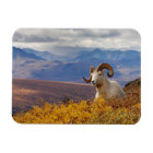 dall sheep, Ovis dalli, ram resting on a Magnet