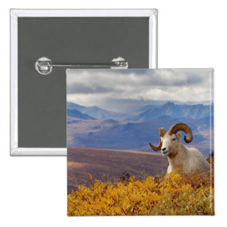 dall sheep, Ovis dalli, ram resting on a Pinback Button