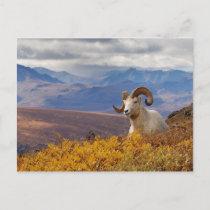 dall sheep, Ovis dalli, ram resting on a Postcard