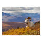 dall sheep, Ovis dalli, ram resting on a Postcard