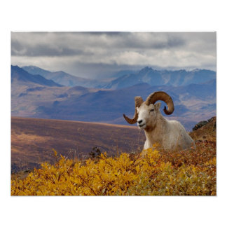 dall sheep, Ovis dalli, ram resting on a Poster