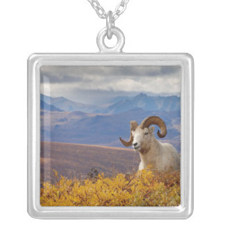 dall sheep, Ovis dalli, ram resting on a Silver Plated Necklace