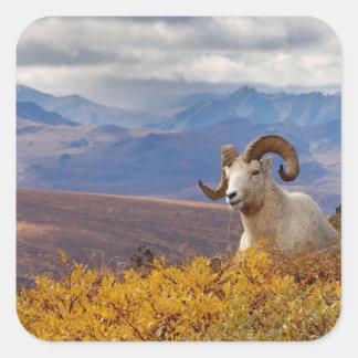 dall sheep, Ovis dalli, ram resting on a Square Sticker