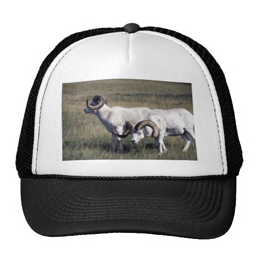 Dall sheep (Pair of large rams in alpine pasture) Mesh Hat