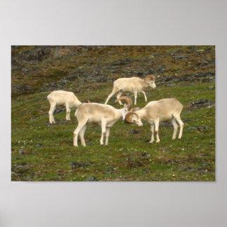 Dall Sheep Print