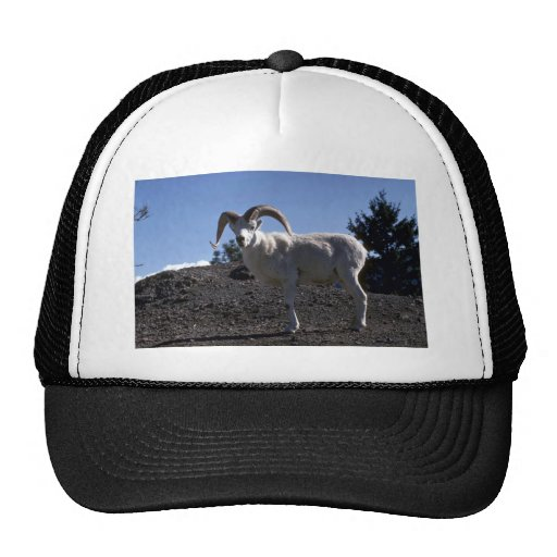 Dall sheep (Ram alert and ready to flee) Hat