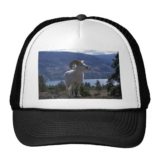 Dall sheep (Ram alert on mountainside) Hat