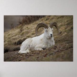 Dall Sheep Ram Print