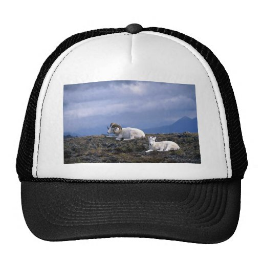 Dall sheep (Rams bedded down) Trucker Hats