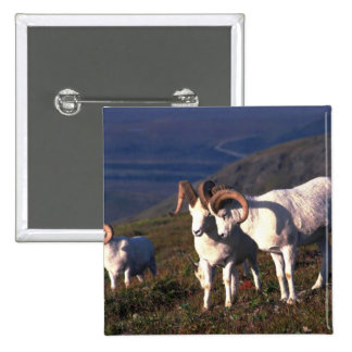 Dall Sheep-rams greeting Button