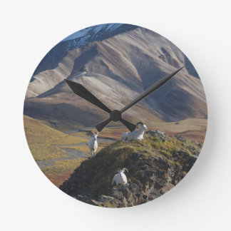 Dall sheep rams perch on a cliff round clock