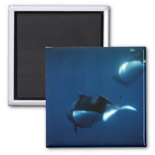Dall's porpoise fridge magnet