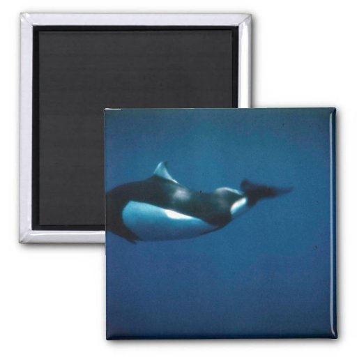 Dall's porpoise refrigerator magnet