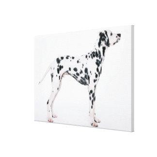 Dalmatian 2 canvas print