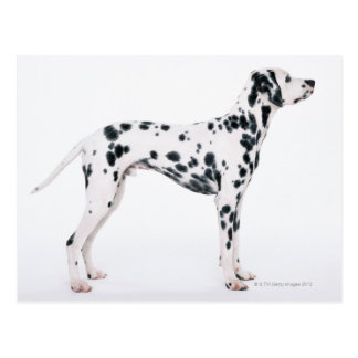 Dalmatian 3 postcard