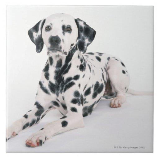 Dalmatian 4 azulejo cuadrado grande