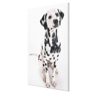 Dalmatian 5 canvas print