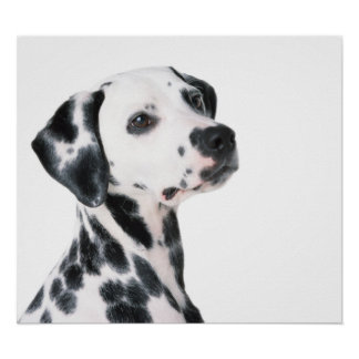 Dalmatian dog beautiful photo, print