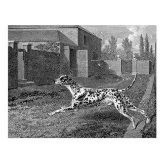 Dalmatian Dog Vintage Drawing Postcard
