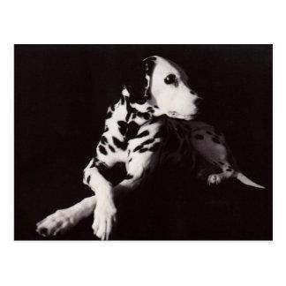 Dalmatian in Black and White Postcard