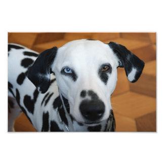 Dalmatian lindo cojinete