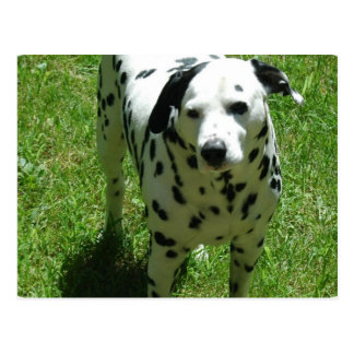 Dalmatian Photo Postcard