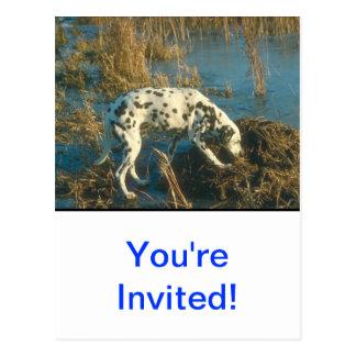Dalmatian Postcard