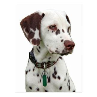 Dalmatian puppy postcard