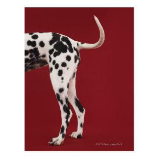 Dalmatian Rear Postcard