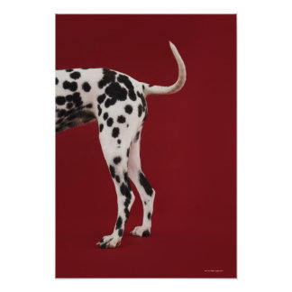 Dalmatian Rear Poster