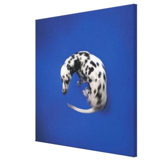 Dalmatian spinning canvas print