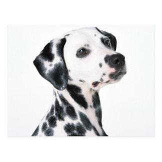 Dalmatian Tarjetas Postales