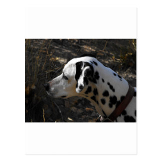 Dalmation Dog Portriate Postcard