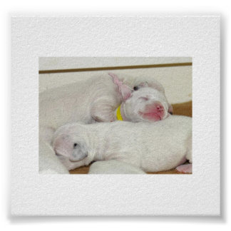 dalmation puppies.png poster