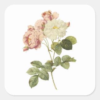 damask rose(Rosa damascena celsiana) by Redouté Square Sticker