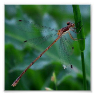 Damselfly with Hitchhiker Poster