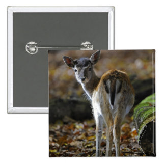 Damwild, Dama dama, fallow deer, Hirschkalb Button