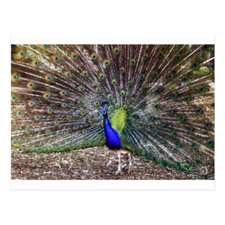 Dancing Peacock Postcard