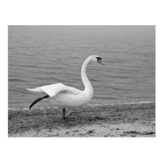 Dancing swan postcard