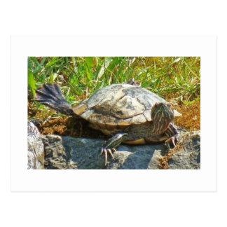 Dancing turtle - Postcard