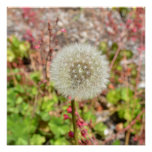 Dandelion- A Wish for You Poster