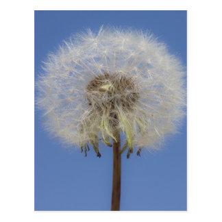 Dandelion Against blue Sky Postcard