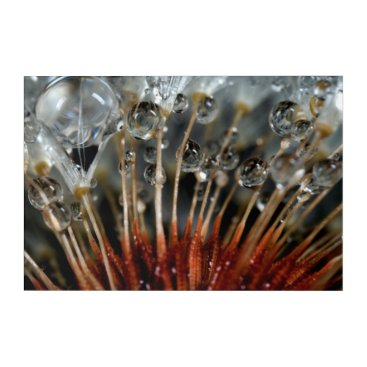 USA Themed Dandelion and water drops, CA Acrylic Print