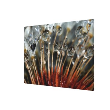 USA Themed Dandelion and water drops, CA Canvas Print
